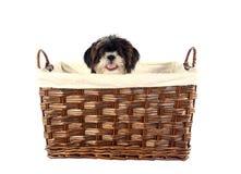 Puppy basket. Cute little llasa apso puppy in a basket Stock Image