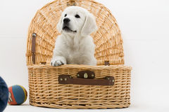 Puppy in basket Royalty Free Stock Images