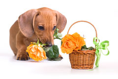 Puppy and basket. Dachshund puppy and rose and basket Stock Images