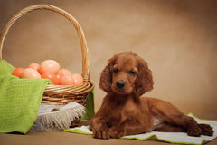 Puppy and basket with easter eggs Stock Image