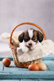 Puppy in a basket with eggs Stock Image
