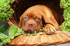 Puppy in a basket with grapes. Stock Photo