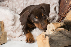 Puppy in a basket Stock Images