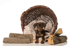 Puppy in a basket Royalty Free Stock Photography