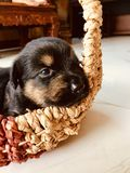 Puppy in a basket royalty free stock photo