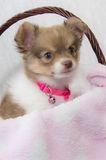 Puppy in a Basket Royalty Free Stock Images