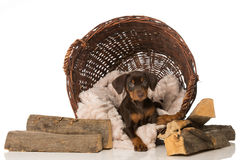 Puppy in a basket Stock Photo