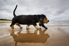 Puppy basset at the beach Stock Photos