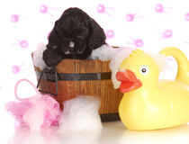 Puppy bath time Royalty Free Stock Photo