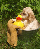 Puppy Bath Time. Cocker spaniel puppy ready for bath (6 weeks old, champion stock Royalty Free Stock Images