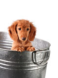 Puppy bath time. Wet puppy in a stainless steel tub Royalty Free Stock Photography