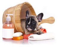 Puppy bath time. French  bulldog puppy in wooden wash basin with soap suds Royalty Free Stock Images