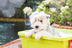 Puppy bathing Stock Photography