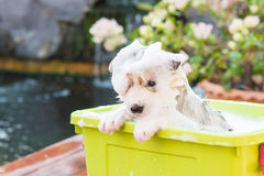 Puppy bathing Stock Photo