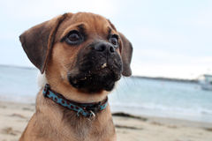 Puppy at beach Stock Photos