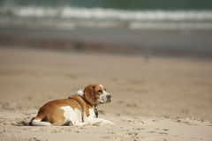 Puppy on beach Royalty Free Stock Image