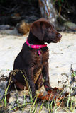 Puppy on the beach Stock Image