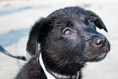 Puppy on the Beach. Close-up of Black Puppy on the Beach Stock Images
