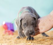 Puppy on the beach royalty free stock photography