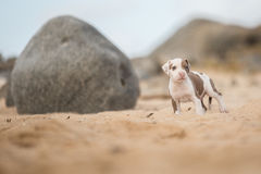 Puppy at the beach. Pitbull puppy at the beach Royalty Free Stock Photography