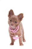 Puppy with beads on its neck Royalty Free Stock Images