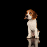 Puppy Beagle. This is a portrait of a 10 week old puppy beagle Royalty Free Stock Images