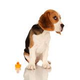 Puppy Beagle. This is a portrait of a 10 week old puppy beagle sat next to a rubber duck Stock Photos