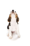 Puppy Beagle Stock Photography