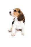Puppy Beagle Stock Photos