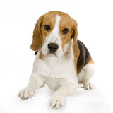 Puppy beagle Stock Images
