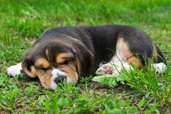 Puppy beagle asleep on the lawn Stock Photo