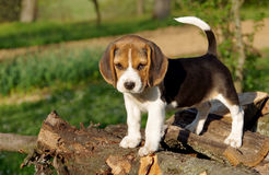 Puppy of beagle. Beautiful beagle puppy on green background Stock Image