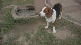 Beagle dog at garden