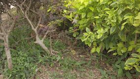 Beagle dog hunting at garden