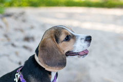Puppy beagle dog playing on the beach of Bali island, Indonesia. Close up image. Stock Photography