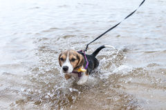 Puppy Beagle going to swim for the first time on a tropical island Bali, Indonesia. Stock Photography