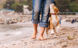 Puppy beagle running near it owner legs Stock Image
