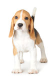 Puppy Beagle on White Background Royalty Free Stock Image