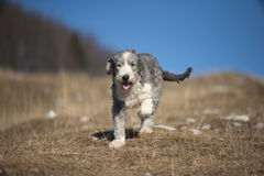 Puppy Bearded Collie. Cute purebred Bearded Collie, Beardie enjoying his life in nature. He is trimmed with short, blue & black color coat with white markings royalty free stock image