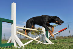Puppy beauceron in agility Royalty Free Stock Image