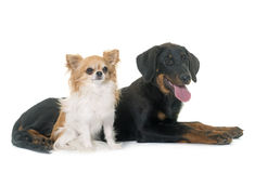 Puppy beauceron and chihuahua Stock Photography