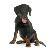 Puppy beauceron in studio Stock Images