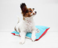 Puppy on a bed Royalty Free Stock Images