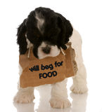 Puppy begging royalty free stock photo