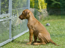 Puppy behind a fence Stock Image
