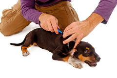 Puppy Being Microchipped Stock Photos