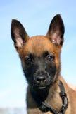 Puppy belgian shepherd Stock Image