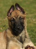 Puppy belgian shepherd. Portrait of a purebred puppy belgian shepherd malinois Royalty Free Stock Images