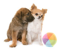 Puppy belgian shepherd and chihuahua. Puppy belgian shepherd dog laekenois and chihuahua in front of white background Stock Photos