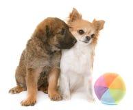 Puppy belgian shepherd and chihuahua Stock Photos